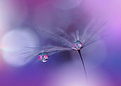 Beautiful Nature Background.Floral Art Design.Abstract Macro Photography.Pastel Flower.Dandelion Flowers.Violet Background.Creative Artistic Wallpaper.Wedding Invitation.Celebration,love.Close up View.Water Drops.Tranquil Natural Background.Blue Color.