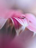 Beautiful Nature Background.Floral Art Design.Abstract Macro Photography.Gerbera Daisy Flower.Pastel Flowers.Pink Background.Creative Artistic Wallpaper.Wedding Invitation.Celebration,love.Close up View.Happy Holidays.Violet Color.Copy Space.Water Drop.