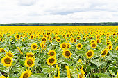Beautiful landscape with yellow sunflowers. Sunflower field, agriculture, harvest concept. Sunflower seeds, vegetable oil