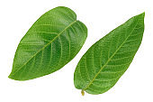 walnut leaf isolated on a white background with clipping path and full depth of field. Top view. Flat lay