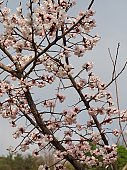 plum blossom scenery in Korea