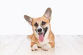 Cute Puppy Corgi Pembroke on a white background