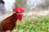 a rooster with brown plumage is crowing against the background of nature outdoor. space for text