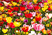 Beautiful tulips blooming in a garden. Spring flowers in blossom