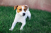 Adorable puppy Jack Russell Terrier laying on a green grass.