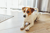 Adorable dog Jack Russell Terrier lying on a wooden floor at home.