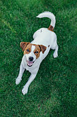 Adorable puppy Jack Russell Terrier on a green grass in a garden.