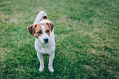 Adorable puppy Jack Russell Terrier walking on a green grass.