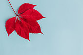 Beautiful red leaf on a light blue background. Autumn background.