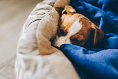 Cute puppy Jack Russell Terrier sleeping in his bed with blue blanket.