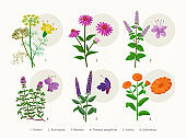 Medicinal herbs and flowers, healing plants icons collection, flat illustrations isolated on white background. Fennel, Echinacea, Mentha, Thymus serpyllum, Salvia, Calendula - botanical drawings.