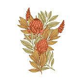 Hand drawn protea flower. Vintage engraved flowral composition. Vector illustration