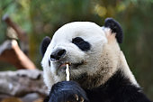 Close-up of Giant Panda in China