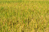 Close up of Asian paddy rice in green agricultural fields with plants waiting to be harvest in countryside or rural area in Asia. Nature landscape background.