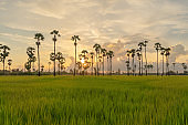 Dong Tan trees in green rice field in national park at sunset in Sam Khok district in rural area, Pathum Thani, Thailand. Nature landscape tourist attraction in travel trip concept.