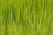 Close up of Asian paddy rice with water drop in green agricultural fields with plants waiting to be harvest in countryside or rural area in Asia. Nature landscape background.