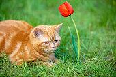 Cute little kitten sitting in the grass in a spring garden near tulip flower