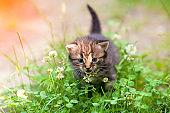 Little kitten walks in clover