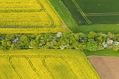 canola field in bloom phase and a corn field with path of tree at spring time. Ecology agriculture near farm. drone shot Aerial view
