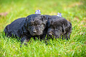 Two little black puppies of a Labrador retriever lying on the grass in the spring garden