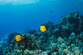 Red sea Masked butterflyfish fish fish Underwater Sea life  Coral reef  Underwater photo Scuba Diver Point of View