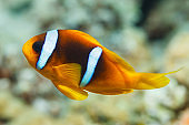 Anemone clownfish Underwater Sea life  Coral reef  Underwater photo Scuba Diver Point of View