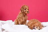 Puppy Toy poodle dog in a specialized  Dog Groomer  salon