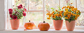 chrysanthemums  and pumpkins on old white  windowsill