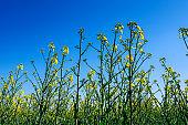 oilseed rapes in a canola fieldblue spring against sky