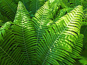 green leaves of ferns in a forest on sunny summer day