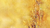 Golden background with autumn dry grass. Plant in nature. Banner with copy space for your text.