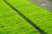 Green young rice paddy field.