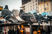 Pigeons sit in a row