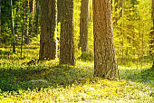 sun in a pine forest, conifers and moss