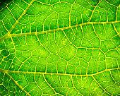 green leaf macro backround