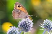 Meadow Brown butterfly- Maniola jurtina sucks nectar with its trunk from the blossom of blue eryngo - Eryngium palmatum