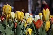Tulip flowers in Amsterdam, Netherlands