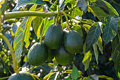 New harvest on avocado trees plantations on La Palma island, Canary islands, Spain