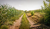Dirt road and summer cornfield