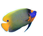Blue-cheek Angelfish isolated
