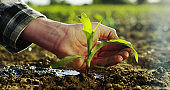 a tomato plant sprout is watered by an expert hand of farmer.
