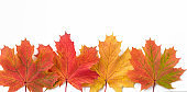 Autumn maple multicolored leaves