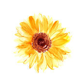 Hand drawn watercolorsunflower in yellow color