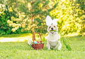Happy Easter concept with dog with bunny ears holding fresh carrot in mouth