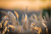 Golden yellow ripe ears of wheat or rye in a field at the end of summer on sunny day. Close up of ukrainian wheat. Agriculture field background.