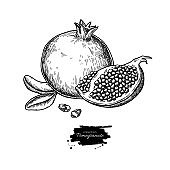 Pomegranate vector drawing. Hand drawn tropical fruit illustration. Engraved summer