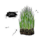Barley grass vector superfood drawing. Isolated hand drawn illustration