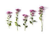 Violet chrysanthemum flowers bouquet