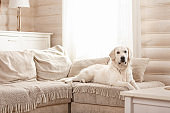 Cute big white dog lies on a sofa in a cozy country house
