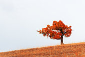 Red autumn tree on the hill